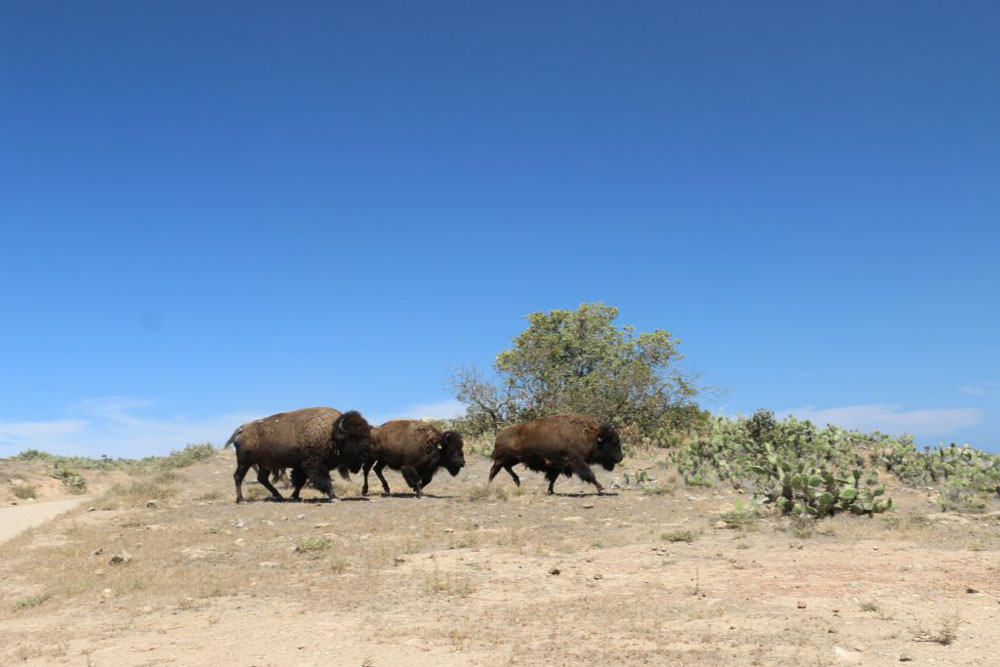 Catalina Conservancy asks public to help Island's bison