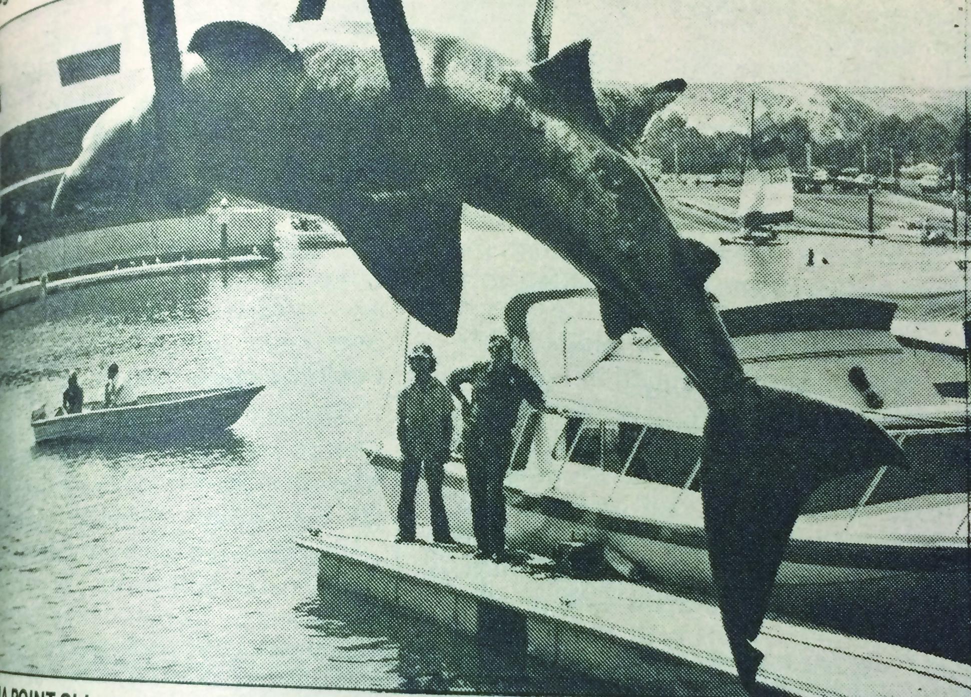 1978: Basking shark found in Dana Point