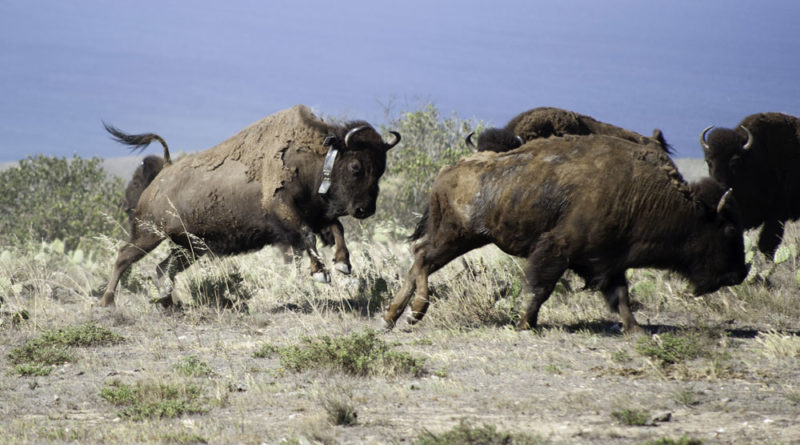 Bison bling helping biologists study the herd
