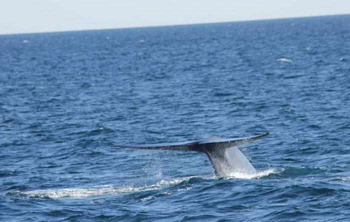 Blue Whales Spotted off Dana Point