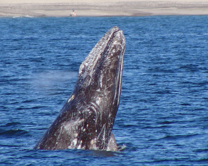 Festival of Whales Splashes into Dana Point
