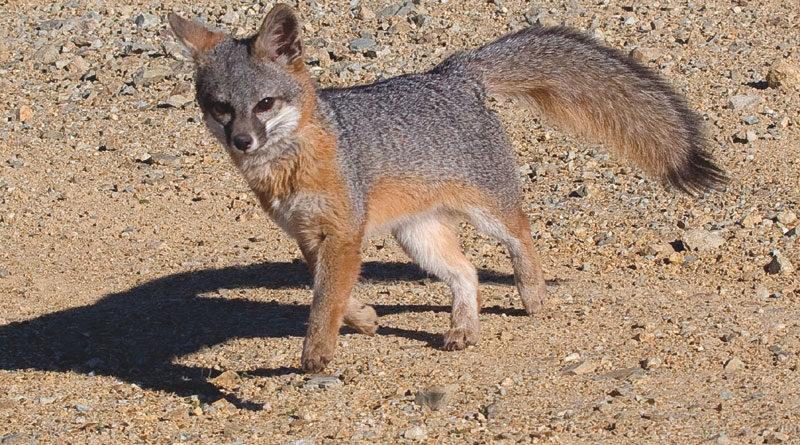 Catalina Island Fox Makes Impressive Comeback