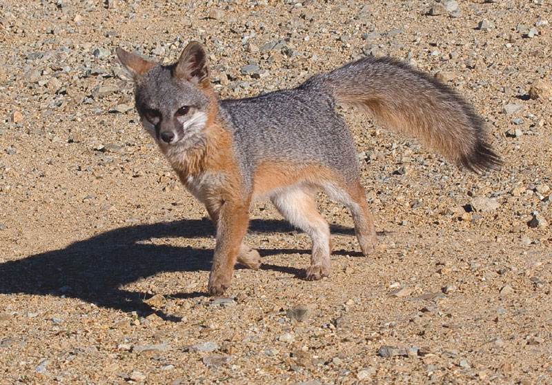Catalina Island Fox Makes Impressive Comeback