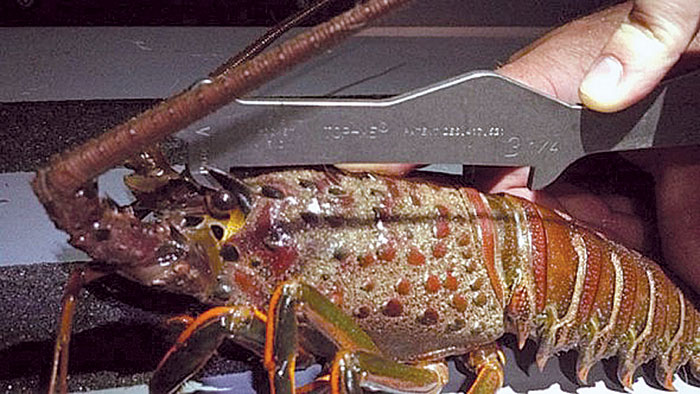 DFG Wardens Cite Lobster Stealing Suspect off Dana Point