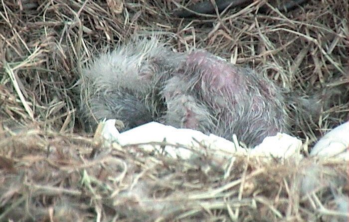 Bald Eagle Cam Catches Chicks Hatching