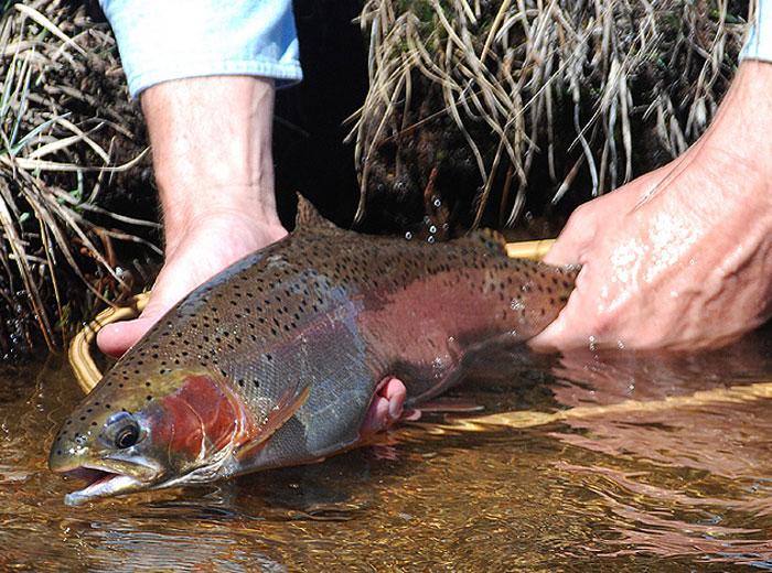 California Wins Suit Over Hatchery Fish Plants