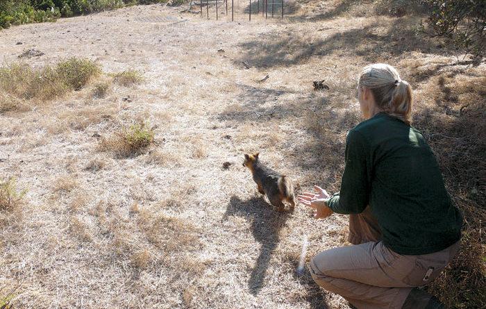 Island Fox Population Stabilizes