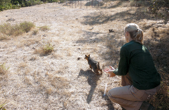 Island Fox Population Stabilizes