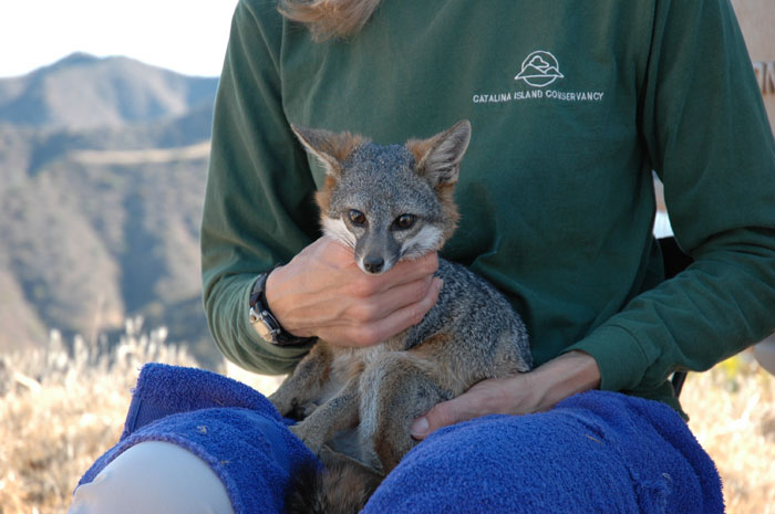 Conservancy Efforts Save Catalina's Foxes