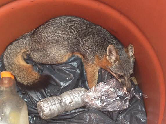 Increased human interactions pose dangers to Catalina Island Foxes