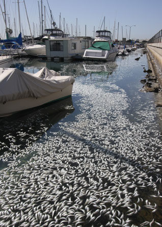Redondo Beach Fish Die-off Leftovers Make 'Killer' Compost