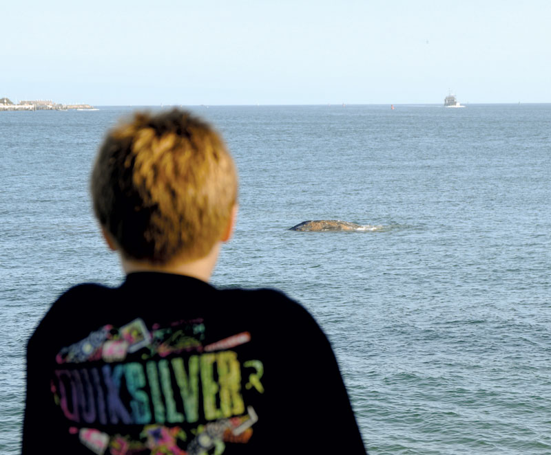 Gray Whale Reportedly Hit by Boat in SD Bay