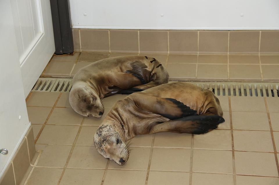 Volunteers offer helping hand to sick sea lions