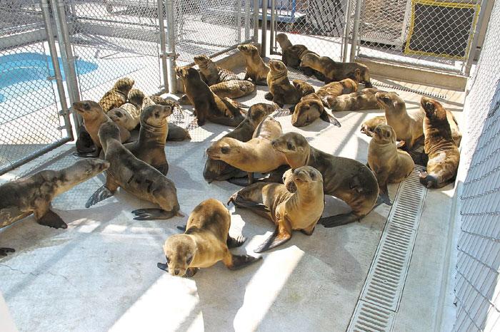 Marine Mammal Center Declares 'State of Emergency'