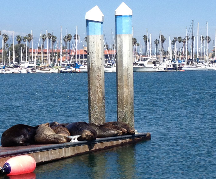 Sea Lions Take Over Ventura Docks