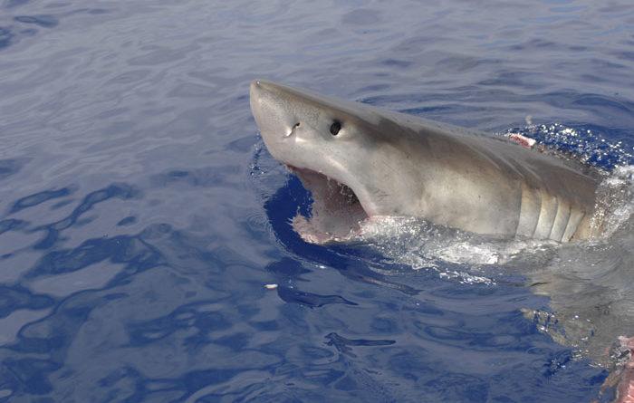 Endangered Species Status Sought for Great White Sharks