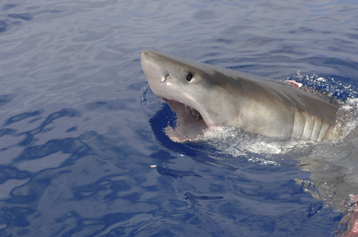 Endangered Species Status Sought for Great White Sharks