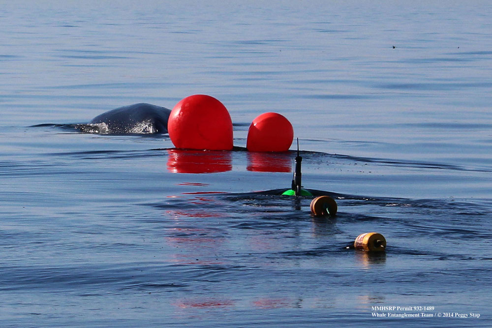Teamwork saves entangled whale in Santa Barbara Channel