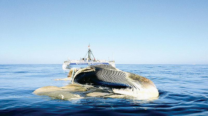 Catamaran Tows San Diego Whale Out to Sea