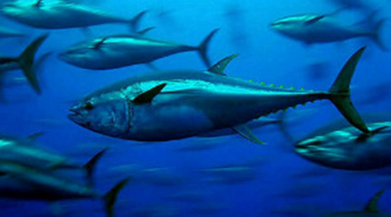 Yellowfin Tuna faces new regulations in southern Mexico