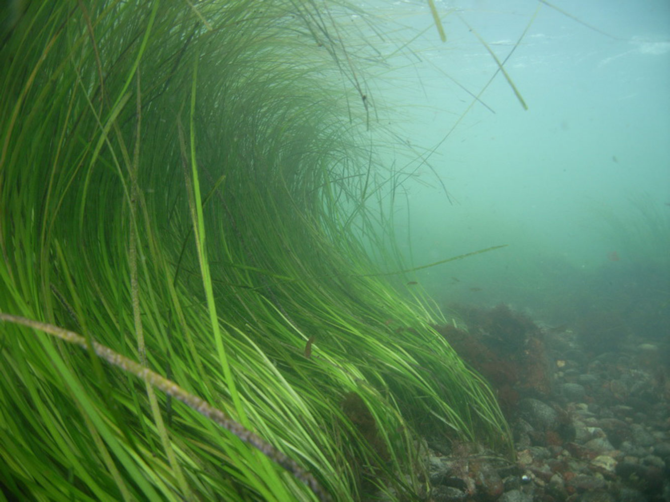 Coastal Commission approves Newport Beach's regional eelgrass plan
