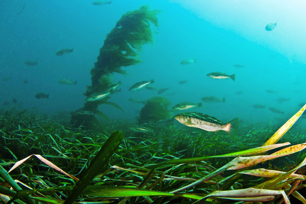 Eelgrass Mitigation: questions of cost, impact remain