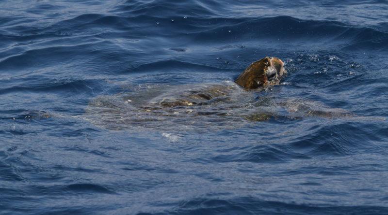 Sea turtle sighting in Santa Monica Bay is a rare event