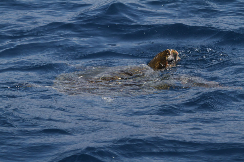 Sea turtle sighting in Santa Monica Bay is a rare event