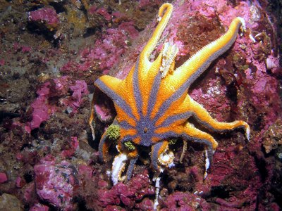 Mysterious Disease Continues to Plague Starfish