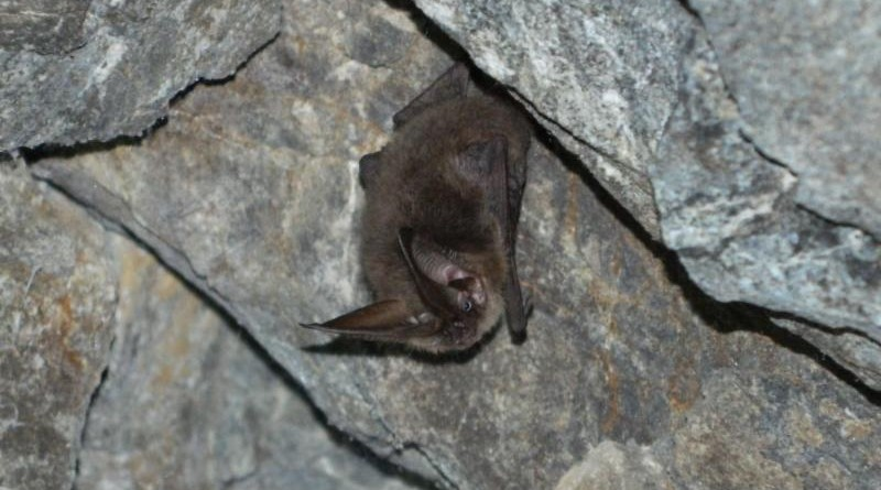 Catalina Island Conservancy working to protect bat population