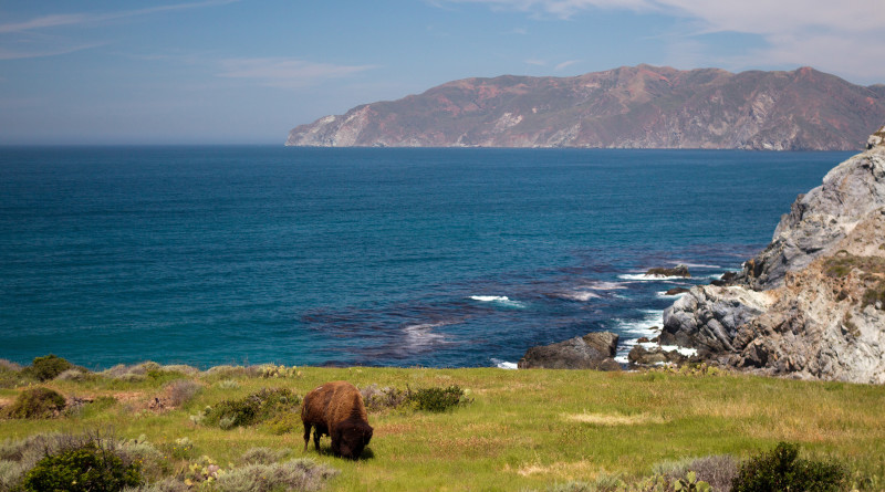 Man hospitalized after bison attack on Catalina Island