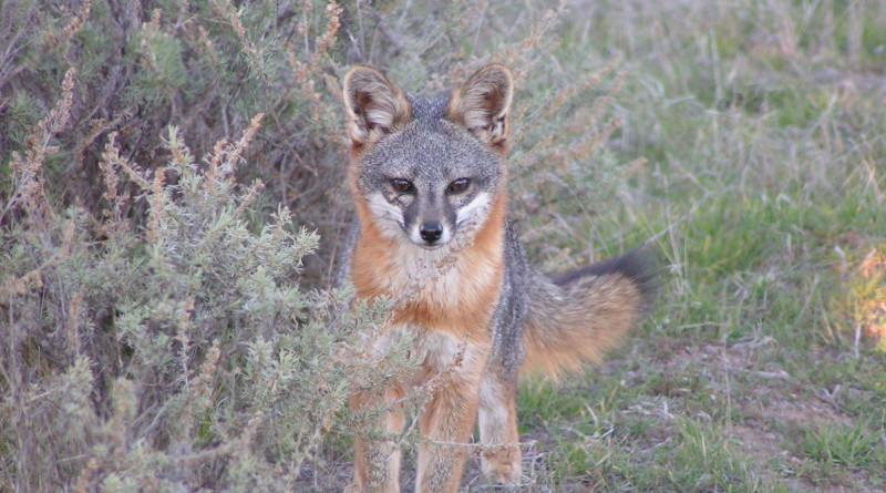 male-fox_Banning-meadow