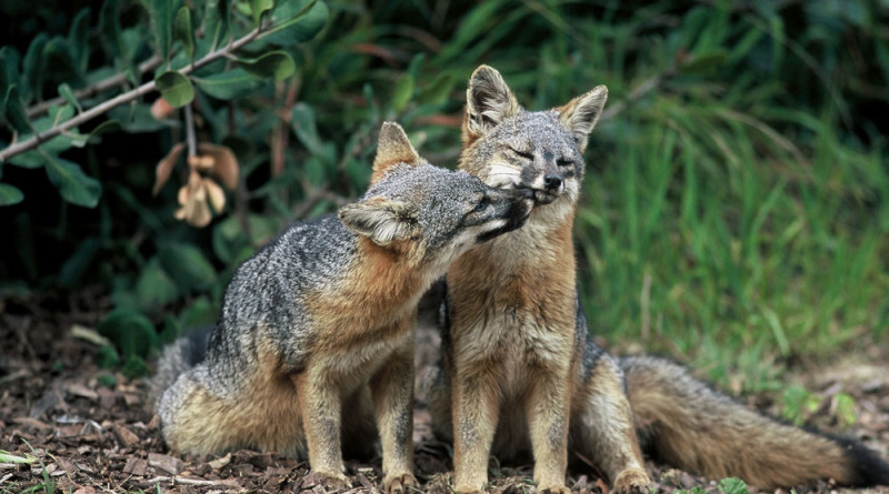 Service proposes downlisting status of Catalina Island foxes