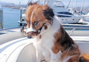 Amos, a rescue 5-year-old Aussie mix, settles in on the upper deck of his owners newly purchased Bluewater 51, Casa Di Mare, in Ventura Harbor. It's a beautiful sunny day, his sunglasses are on and he's ready to go. Now if he could just get his humans, Craig and Lyn Chambers, to get underway it would be a perfect day.