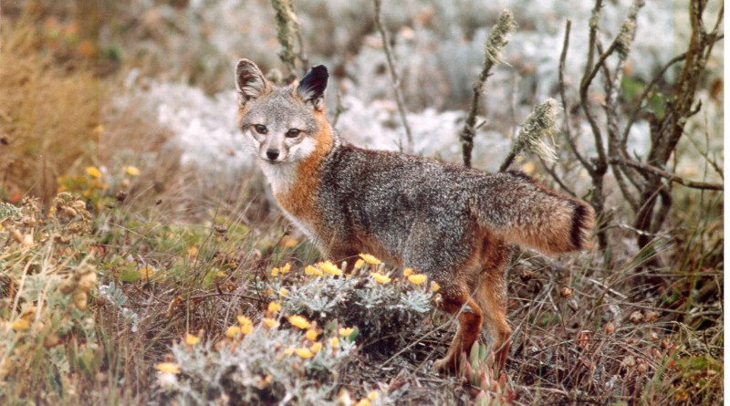 U.S. Fish and Wildlife Service announced final de-listing of the foxes native to Channel islands.Photo courtesy of National Park Service