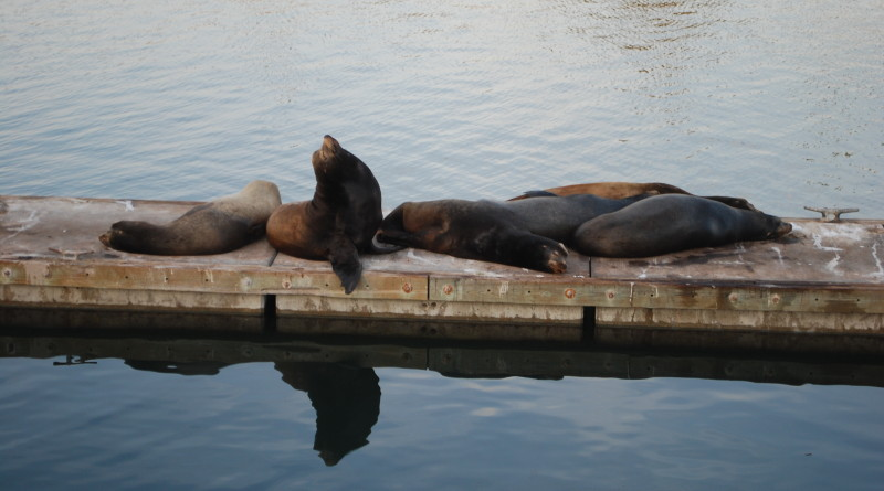 Sea lions lounging on Oceanside Harbor docks is a common sight in the waterway as the pinnipeds continue to occupy spaces in Southern California harbors.Parimal M. Rohit photo