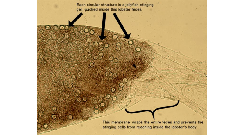 Empty circles are the nematocysts, or stinging cells, of jellyfish that have been packed together and wrapped tightly into packages of feces in the beginning of the lobster's digestive tract. The membrane, which can be seen extending off to the right side of the image, is a mechanical adaptation to prevent lobsters from being killed by their venomous food.Image by Kaori Wakabayashi of Hiroshima University, originally published in Plankton and Benthos Research