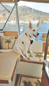 white shepherd on boat in Catalina