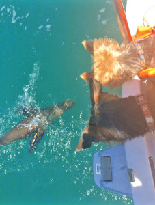 yorkies watching a seal