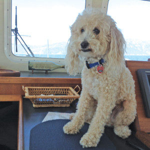 boating labradoodle dog