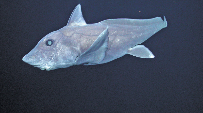Hydrolagus trolli (the pointy-nosed blue chimaera also called ghost shark)