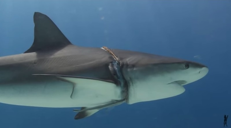 shark seeks help from scuba divers in the Bahamas