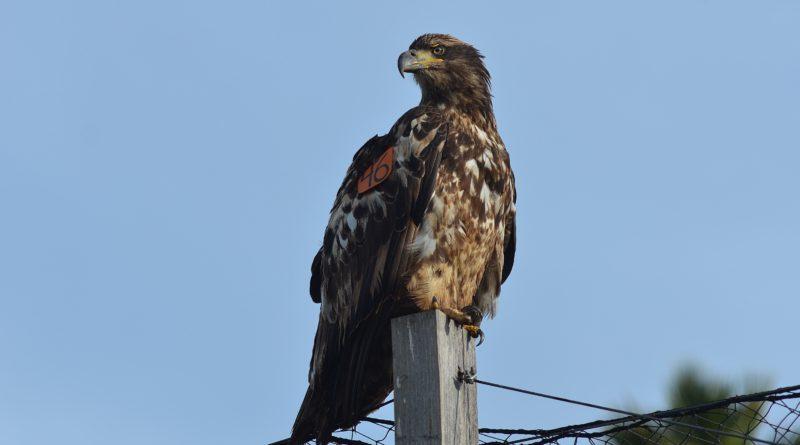 bald eagle named Tiana on Catalina Island