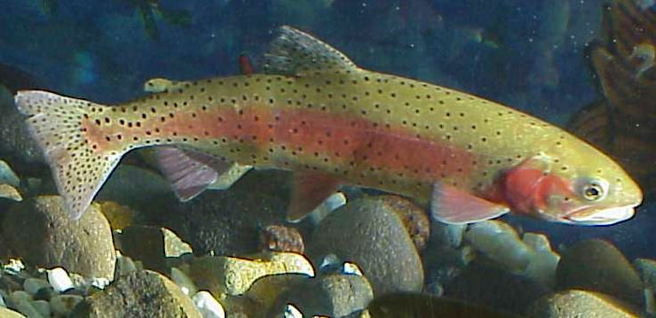 Cutthroat trout - US Fish and Wildlife Service