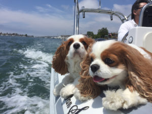 Cavalier King Charles Spaniels aboard boat