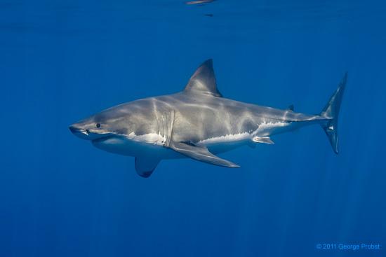 Shark Predation - NOAA photo