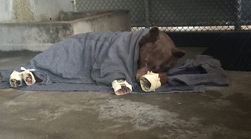 Bear treated with fish bandages