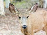 Catalina Deer