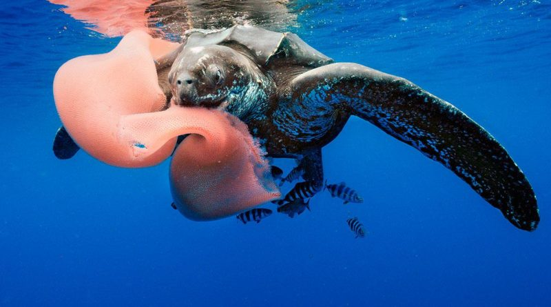 Sea Turtle & Pyrosome