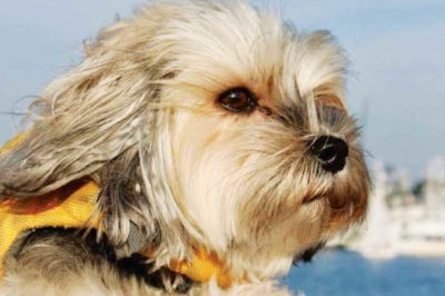 MOLLY-SHANNON-THE-MORKIE-IS-A-REAL-SAILIN-SUPERSTAR